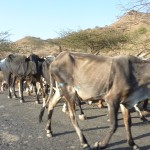 Cattle on the road to Keren