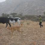 Boy tending cattle at dawn
