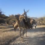 Camels taking wood to Keren