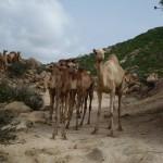 Meeting Rachaida tribesmen & their camel herd
